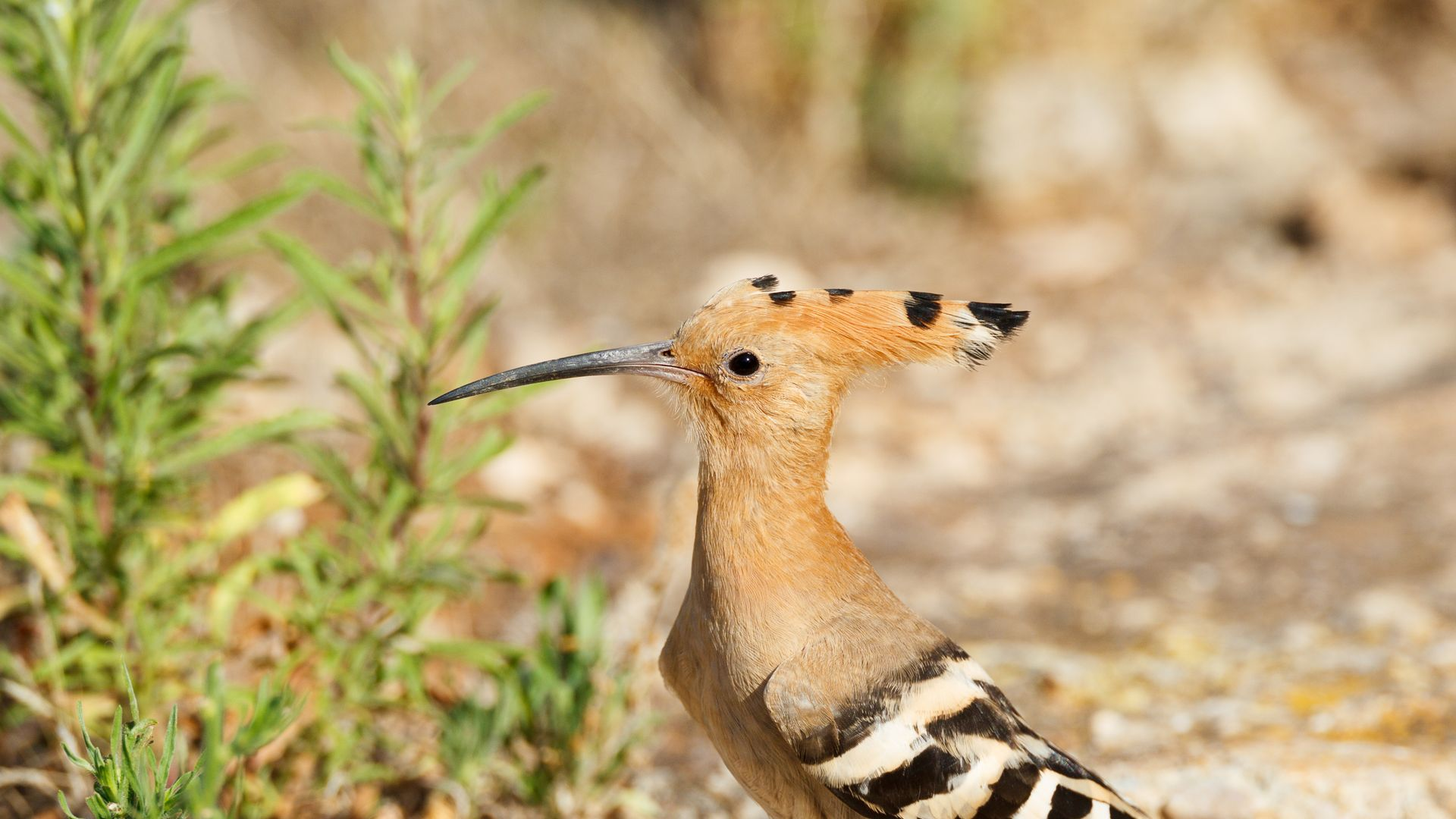 Birding in Ibiza